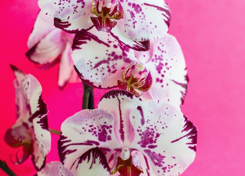 Λουλούδια ορχιδεών σε ένα ρόδινο υπόβαθρο ανθίζοντας orchid στοκ εικόνα