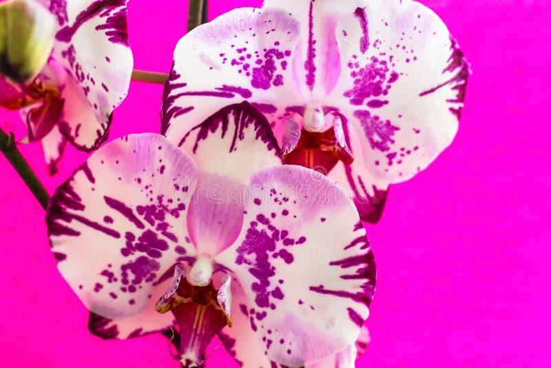 Λουλούδια ορχιδεών σε ένα ρόδινο υπόβαθρο ανθίζοντας orchid στοκ φωτογραφίες με δικαίωμα ελεύθερης χρήσης