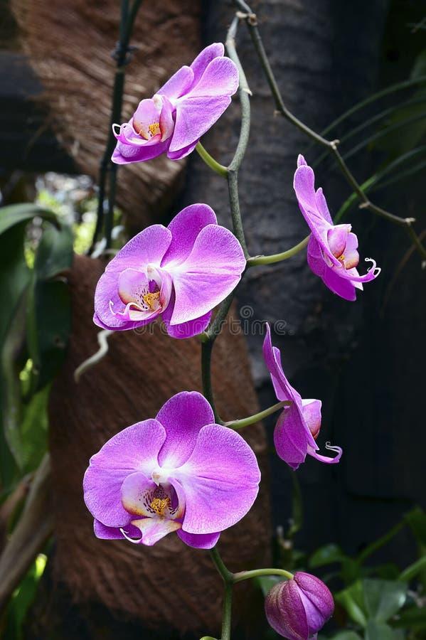 Λουλούδια ορχιδεών στον τροπικό κήπο Ανάπτυξη λουλουδιών ορχιδεών Phalaenopsis Tenerife, Κανάρια νησιά στοκ φωτογραφία με δικαίωμα ελεύθερης χρήσης
