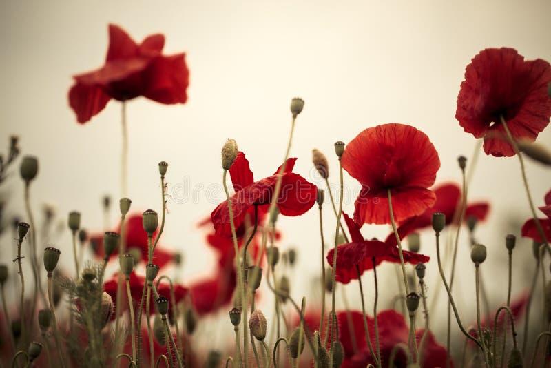 Λουλούδια παπαρουνών καλαμποκιού στοκ εικόνες