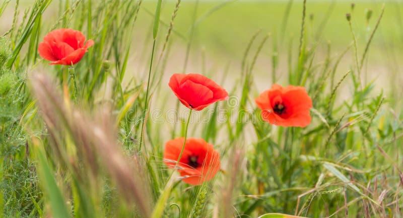Λουλούδια παπαρουνών στο θολωμένο υπόβαθρο φύσης, έμβλημα στοκ εικόνες με δικαίωμα ελεύθερης χρήσης