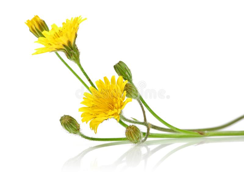Λουλούδια πικραλίδων στο άσπρο υπόβαθρο στοκ εικόνες με δικαίωμα ελεύθερης χρήσης