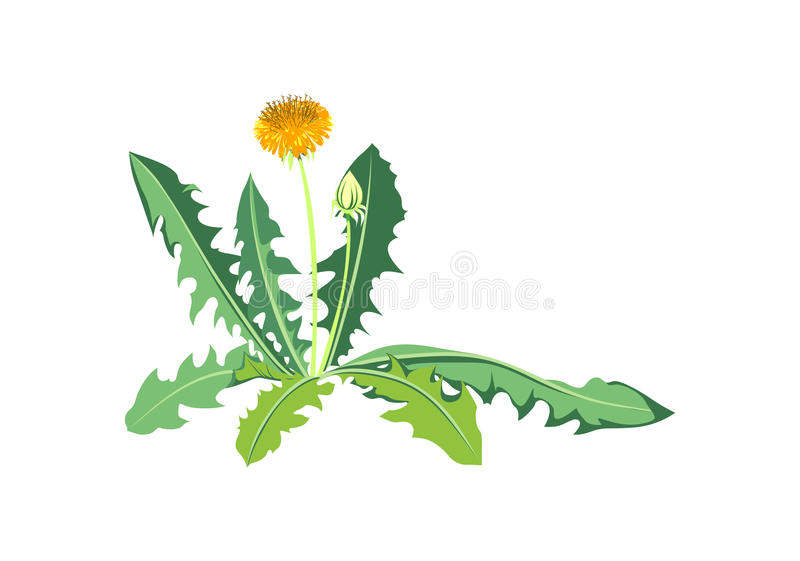 λουλούδια πικραλίδων ελεύθερη απεικόνιση δικαιώματος
