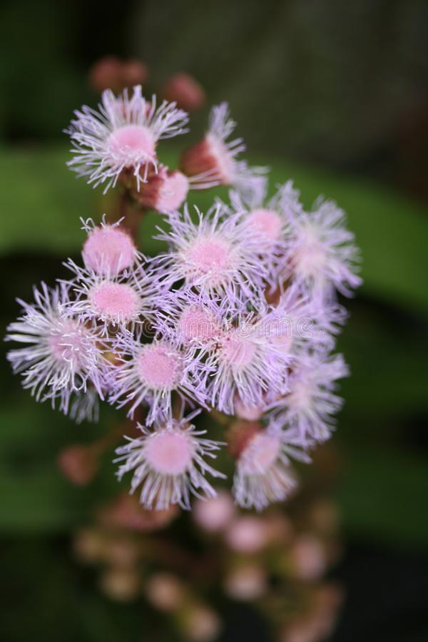 Λουλούδια που μοιάζουν με το anemone στοκ φωτογραφίες
