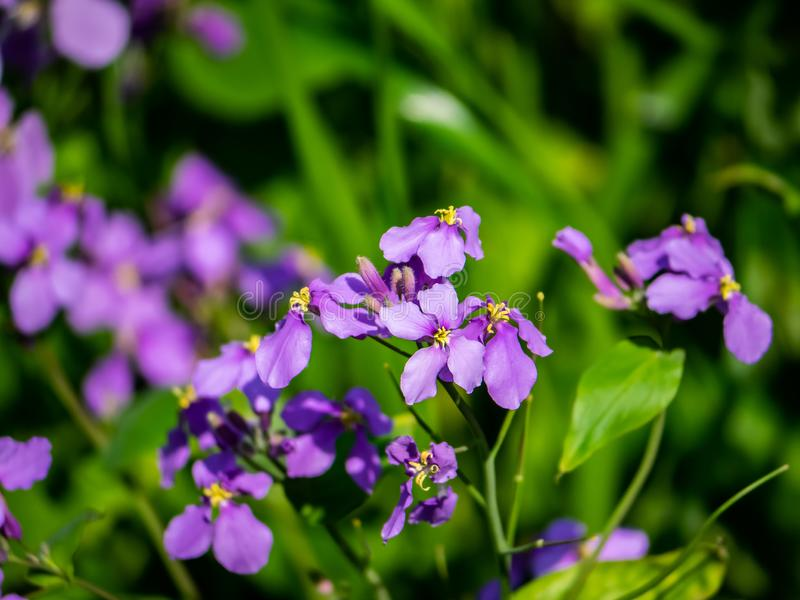 Λουλούδια πυραύλων κυρίας στην άνθιση στοκ εικόνα με δικαίωμα ελεύθερης χρήσης