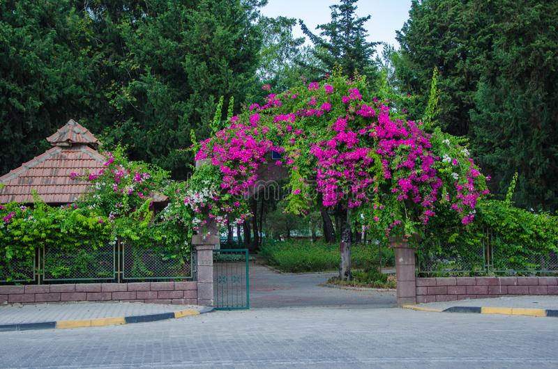 Λουλούδια στην είσοδο στο πάρκο, ανθίζοντας φράκτης, ρόδινα λουλούδια στοκ εικόνες