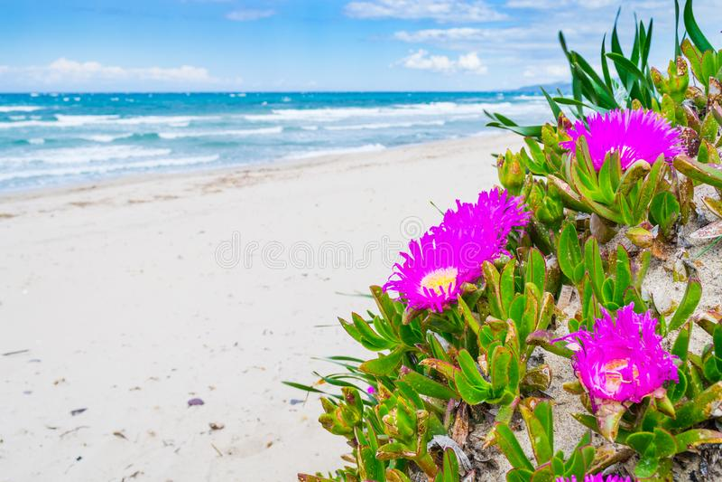 Λουλούδια σύκων Hottentots θαλασσίως στην παραλία Platamona στοκ εικόνα με δικαίωμα ελεύθερης χρήσης