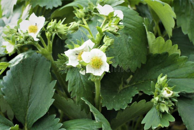 Λουλούδια της κινηματογράφησης σε πρώτο πλάνο φραουλών κήπων στο ηλιόλουστο φως στοκ φωτογραφίες