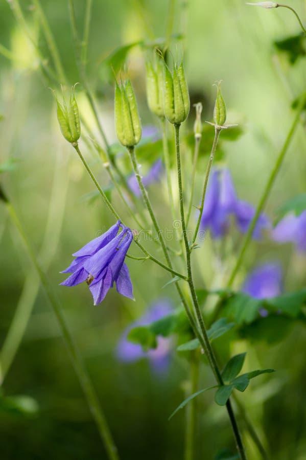 Λουλούδια της κινηματογράφησης σε πρώτο πλάνο rotundifolia Campanula harebell στο φυσικό υπόβαθρο στοκ φωτογραφία
