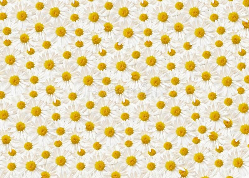 Λουλούδια της Daisy στο άσπρο υπόβαθρο στοκ φωτογραφία με δικαίωμα ελεύθερης χρήσης