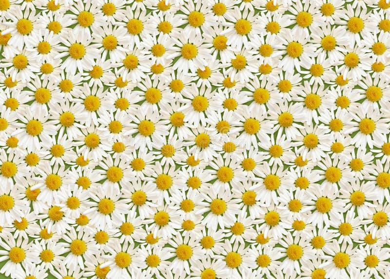 Λουλούδια της Daisy στο πράσινο υπόβαθρο στοκ φωτογραφίες με δικαίωμα ελεύθερης χρήσης