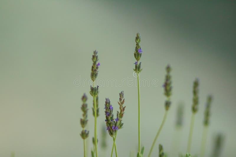 Λουλούδια της Heather Ανθίζοντας λουλούδια ερείκης στο πράσινο λιβάδι Πράσινη ανασκόπηση Εκλεκτική εστίαση διάστημα αντιγράφων στοκ εικόνες με δικαίωμα ελεύθερης χρήσης
