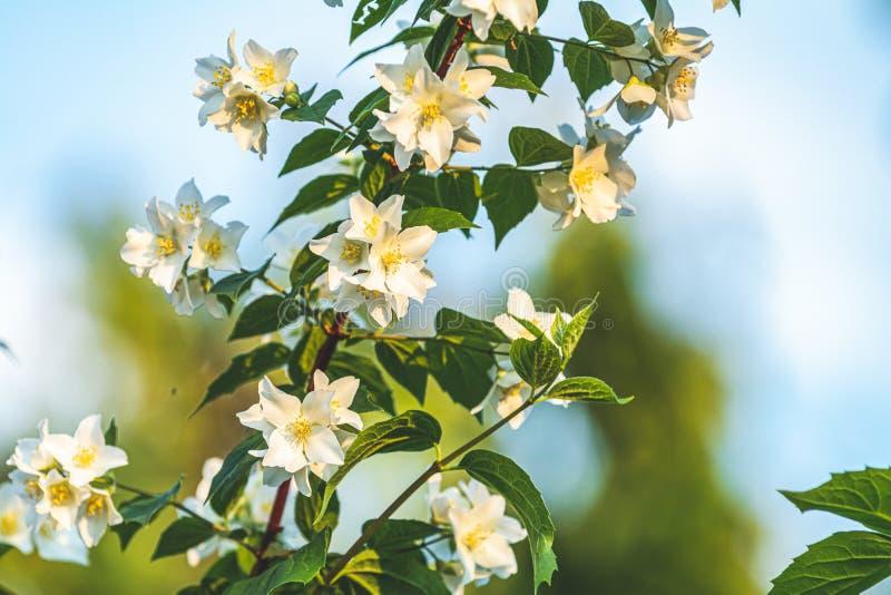 Λουλούδια της Jasmine σε έναν κήπο στοκ φωτογραφία