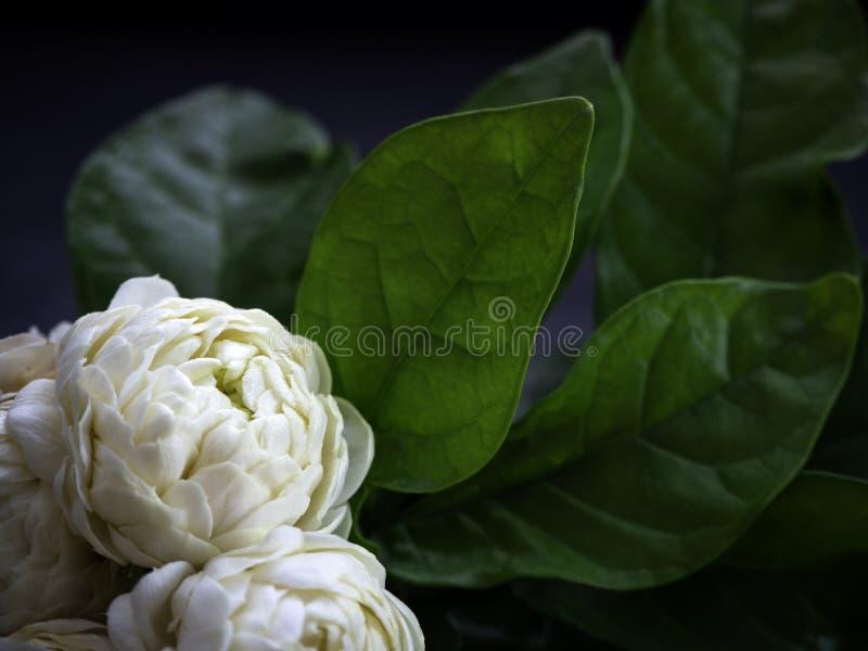 Λουλούδια της Jasmine στο σκοτεινό υπόβαθρο στοκ φωτογραφία