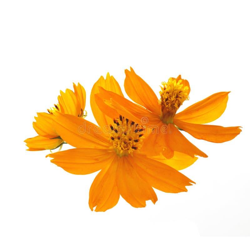 Λουλούδια του κόσμου θείου σε ένα άσπρο υπόβαθρο στοκ φωτογραφίες με δικαίωμα ελεύθερης χρήσης