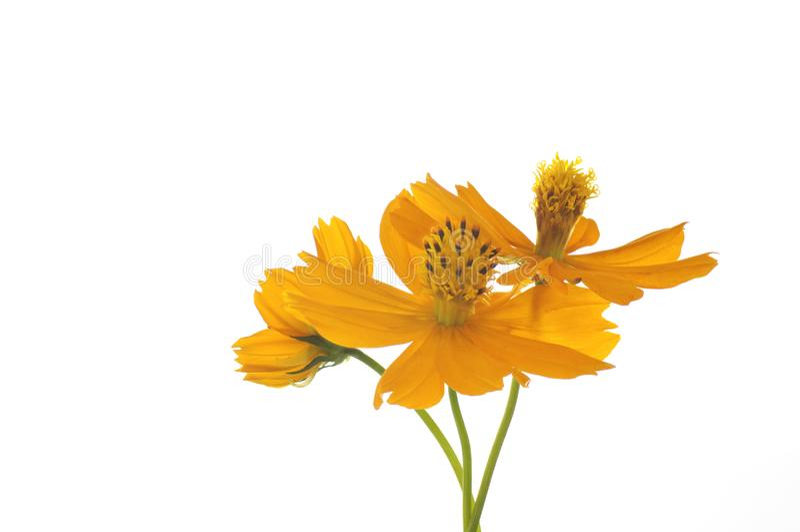 Λουλούδια του κόσμου θείου σε ένα άσπρο υπόβαθρο στοκ φωτογραφία με δικαίωμα ελεύθερης χρήσης