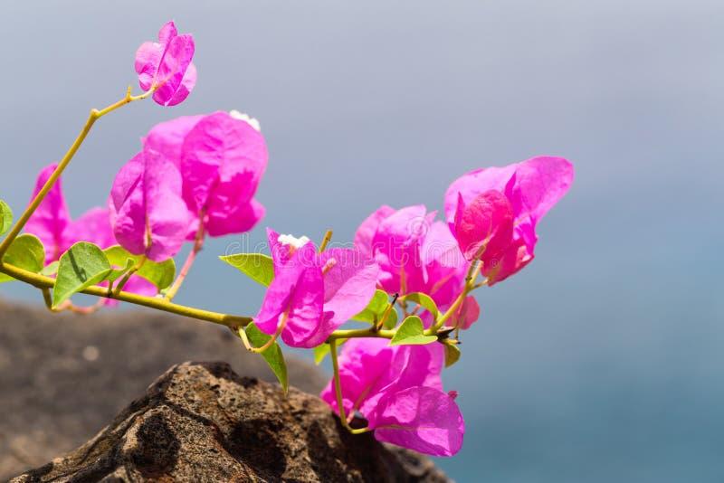 Λουλούδια του φωτεινού ρόδινου bougainvillea στο θολωμένο υπόβαθρο στοκ εικόνα με δικαίωμα ελεύθερης χρήσης