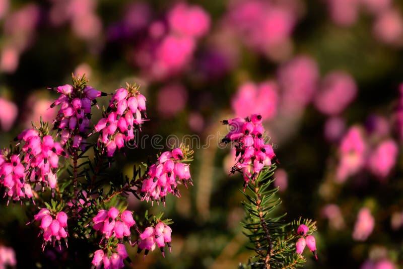 Λουλούδια του χειμώνα, λουλούδια της ερείκης στοκ εικόνα