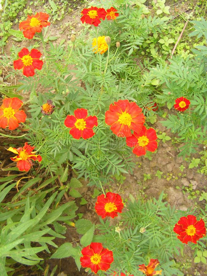 Λουλούδια του patula Tagetes, κάθετη φυσική φωτογραφία στοκ φωτογραφίες με δικαίωμα ελεύθερης χρήσης