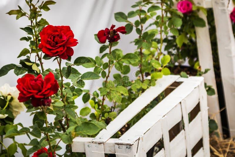 Λουλούδια τριαντάφυλλων, διακοσμήσεις του κήπου στοκ εικόνες με δικαίωμα ελεύθερης χρήσης