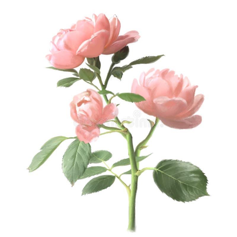 Λουλούδια τριαντάφυλλων Ρόδινος floral κλάδος με τους οφθαλμούς και τα πράσινα φύλλα στο άσπρο υπόβαθρο ελεύθερη απεικόνιση δικαιώματος