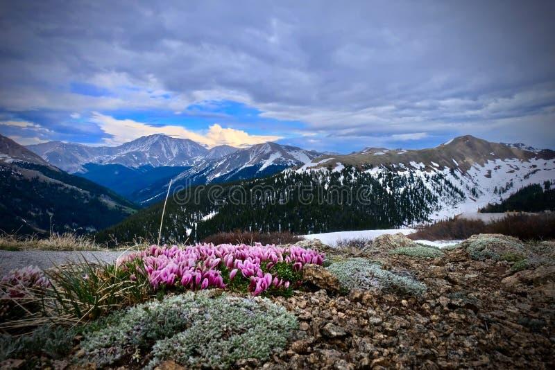 Λουλούδια τριφυλλιού στα αλπικά λιβάδια στοκ εικόνες