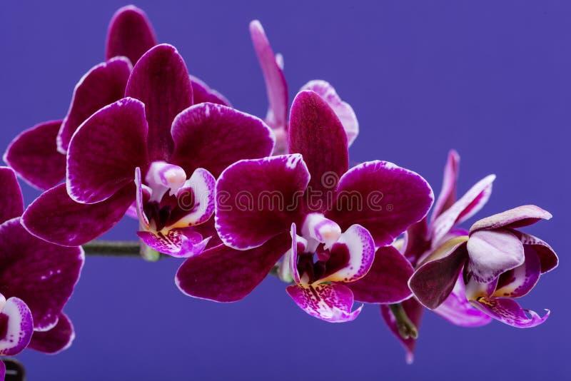 Λουλούδια των ανθίζοντας μίνι Burgundy Phalaenopsis βελούδου εγκαταστάσεων ορχιδεών που απομονώνονται στην πορφύρα Ορχιδέες σκώρω στοκ εικόνες