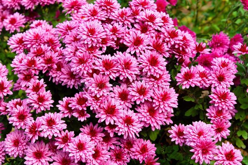 Λουλούδια φθινοπώρου Asters στοκ φωτογραφία με δικαίωμα ελεύθερης χρήσης