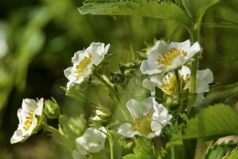 Λουλούδια φραουλών στοκ φωτογραφίες