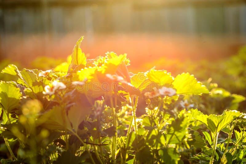 Λουλούδια φραουλών μεταξύ των θάμνων φραουλών στον κήπο στοκ εικόνα με δικαίωμα ελεύθερης χρήσης