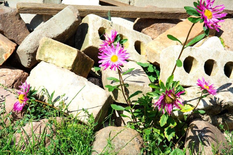 Λουλούδια φυτρώνουν στα σκουπίδια ανάμεσα στα τούβλα στοκ φωτογραφίες με δικαίωμα ελεύθερης χρήσης