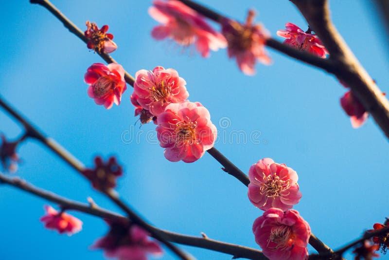 Λουλούδια φύσης δαμάσκηνων στοκ εικόνα με δικαίωμα ελεύθερης χρήσης