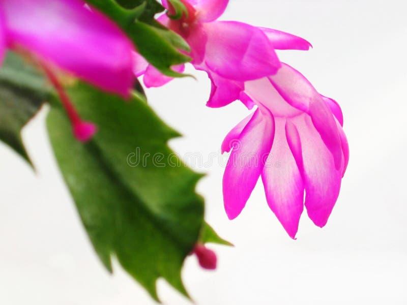 λουλούδια Χριστουγέννων στοκ φωτογραφία με δικαίωμα ελεύθερης χρήσης