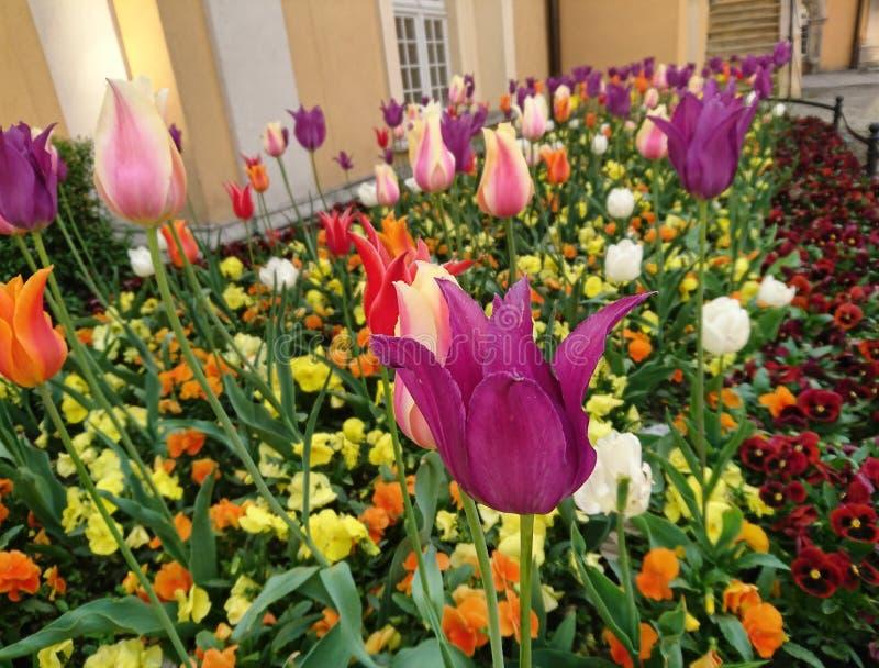 Λουλούδια χρώματος τουλιπών στοκ εικόνα με δικαίωμα ελεύθερης χρήσης