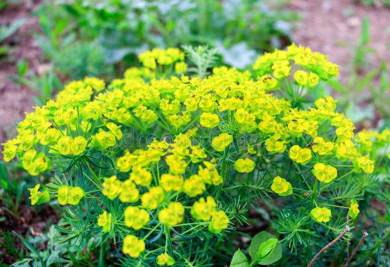 Λουλούδια όμορφα ελατηρίων κίτρινου στοκ εικόνες