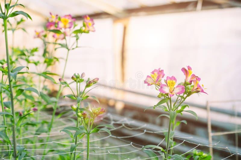 Λουλούδια Alstroemeria που αυξάνονται στο θερμοκήπιο στοκ φωτογραφίες με δικαίωμα ελεύθερης χρήσης