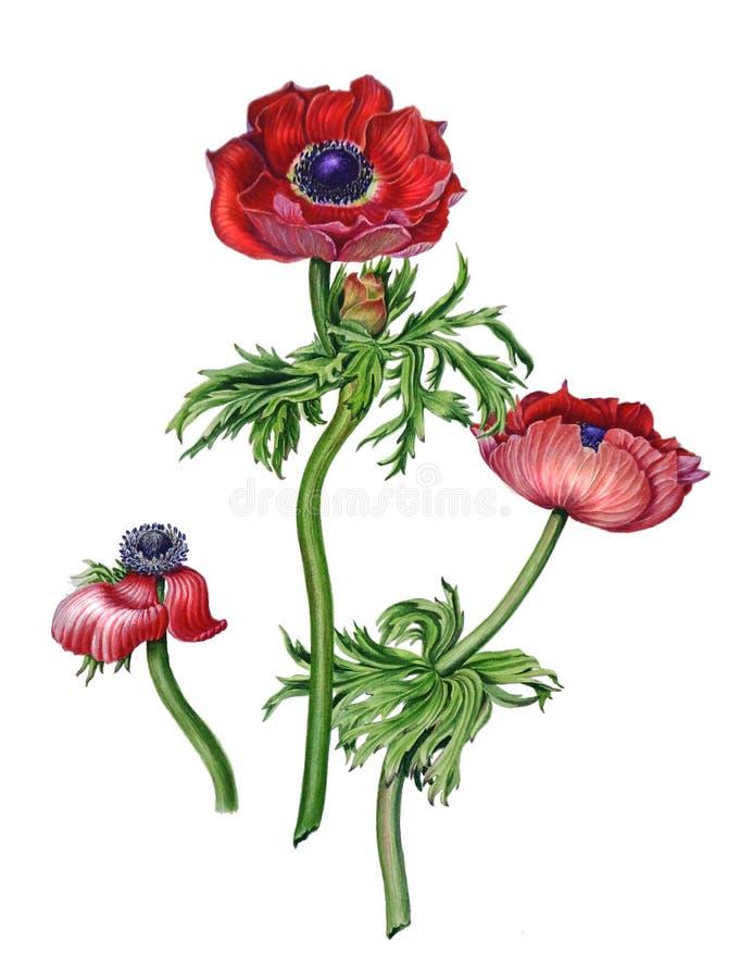 Λουλούδια anemone Watercolor διανυσματική απεικόνιση