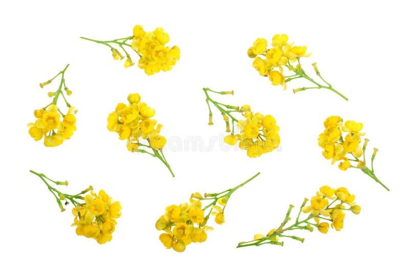 Λουλούδια barberries που απομονώνονται στο άσπρο υπόβαθρο στοκ φωτογραφίες