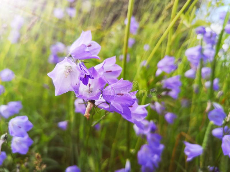 Λουλούδια Bluebells σε ένα πράσινο πολύβλαστο λιβάδι στοκ εικόνα