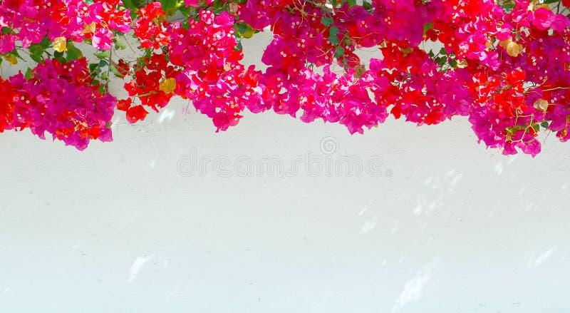 Λουλούδια Bougainvillea σε ένα άσπρο υπόβαθρο τοίχων Θερινή floral έννοια με το διάστημα για το κείμενο στοκ φωτογραφία