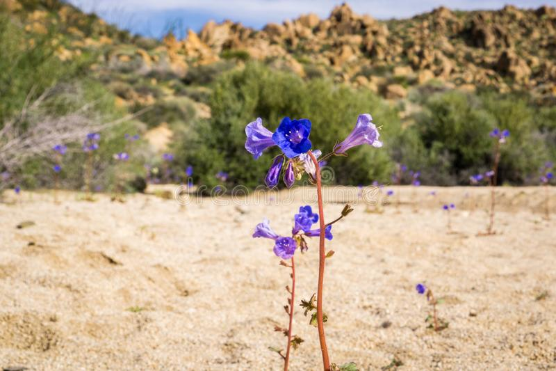 Λουλούδια campanularia Phacelia κουδουνιών ερήμων, εθνικό πάρκο δέντρων του Joshua, Καλιφόρνια στοκ εικόνα