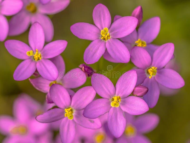 Λουλούδια Centaurium στοκ εικόνες με δικαίωμα ελεύθερης χρήσης