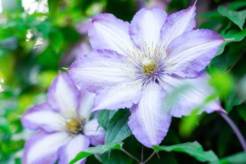 Λουλούδια Clematis στο πράσινο φύλλωμα στοκ φωτογραφίες με δικαίωμα ελεύθερης χρήσης