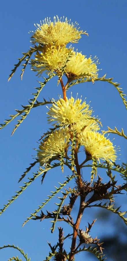 λουλούδια Dryandra Στοκ φωτογραφία με δικαίωμα ελεύθερης χρήσης