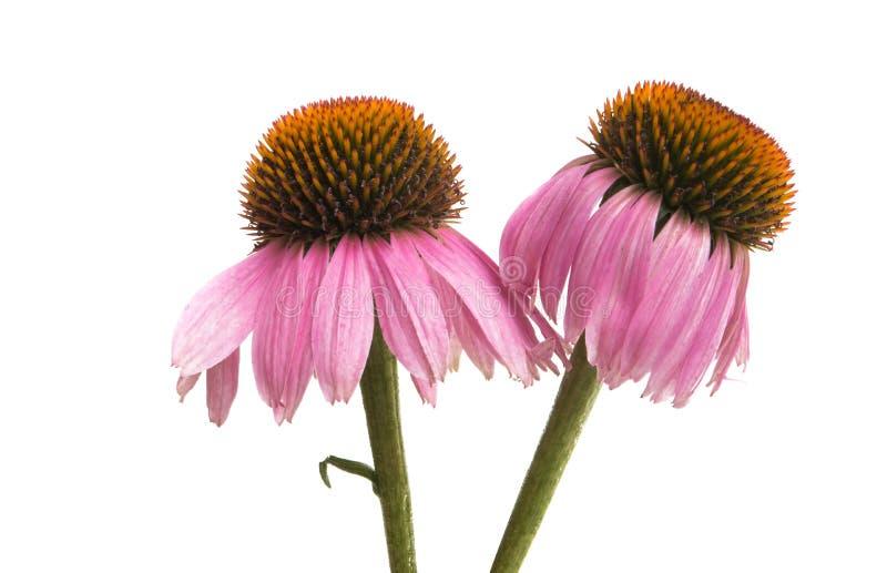 Λουλούδια Echinacea που απομονώνονται στοκ φωτογραφία