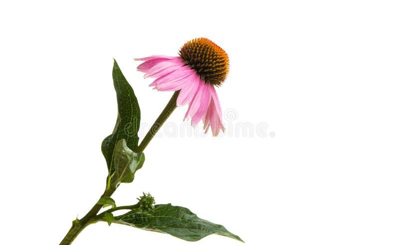 Λουλούδια Echinacea που απομονώνονται στοκ εικόνα