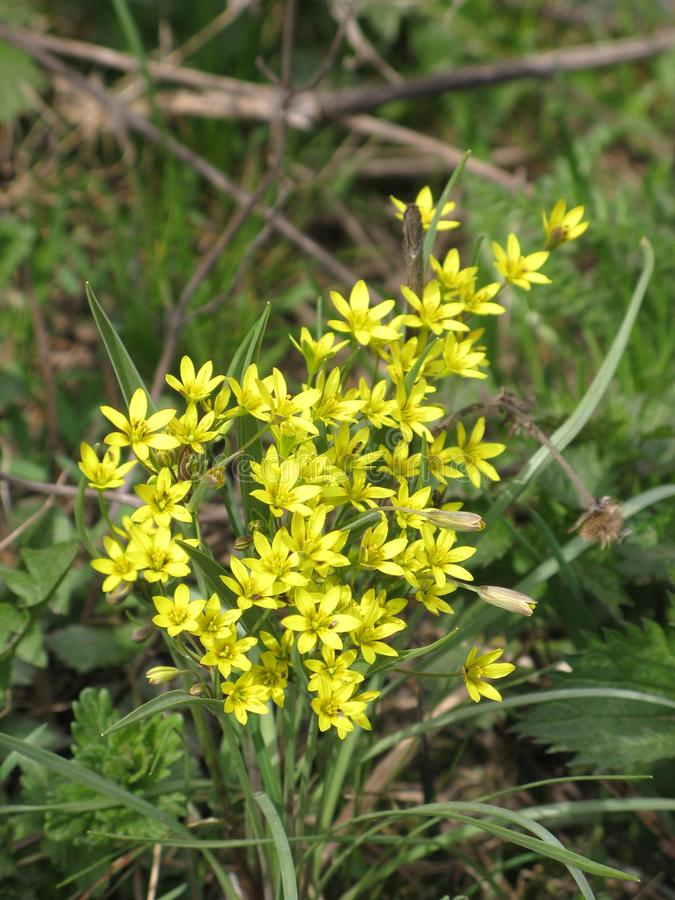 Λουλούδια Gagea στοκ εικόνες