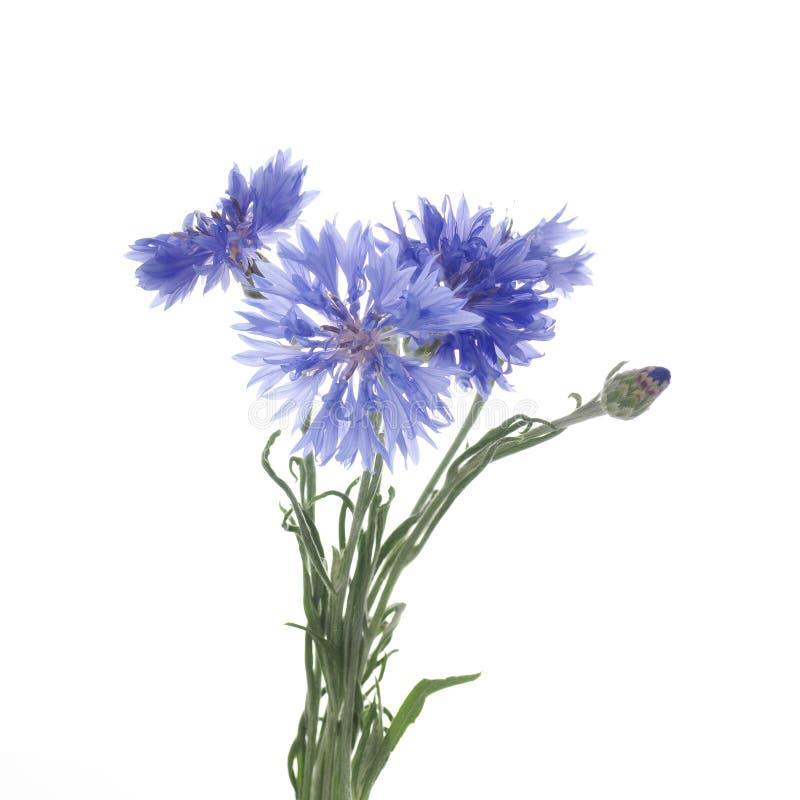 Λουλούδια knapweed σε ένα άσπρο υπόβαθρο στοκ εικόνα με δικαίωμα ελεύθερης χρήσης