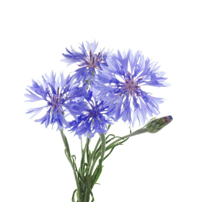 Λουλούδια knapweed σε ένα άσπρο υπόβαθρο στοκ εικόνες