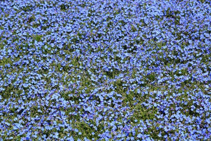 Λουλούδια Lithodora Έκθεση Euroflora 2018 Parchi Di Nervi Γένοβα Ιταλία στοκ φωτογραφία με δικαίωμα ελεύθερης χρήσης